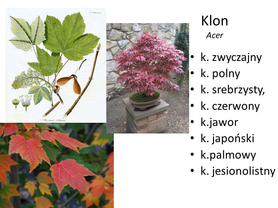 Klon Acer k. zwyczajny k. polny k. srebrzysty, k. czerwony k.jawor