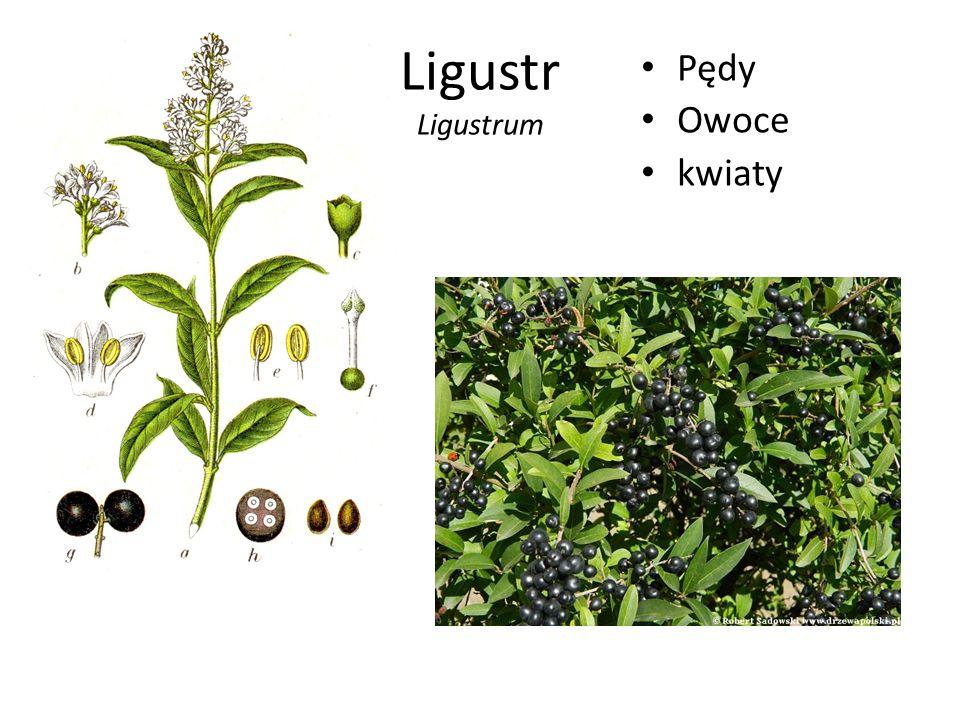 Ligustr Ligustrum Pędy Owoce kwiaty