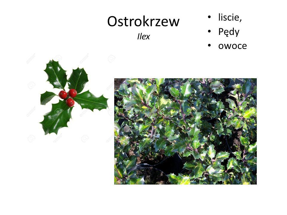 Ostrokrzew Ilex liscie, Pędy owoce
