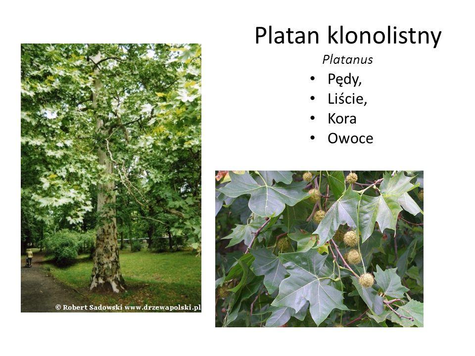 Platan klonolistny Platanus