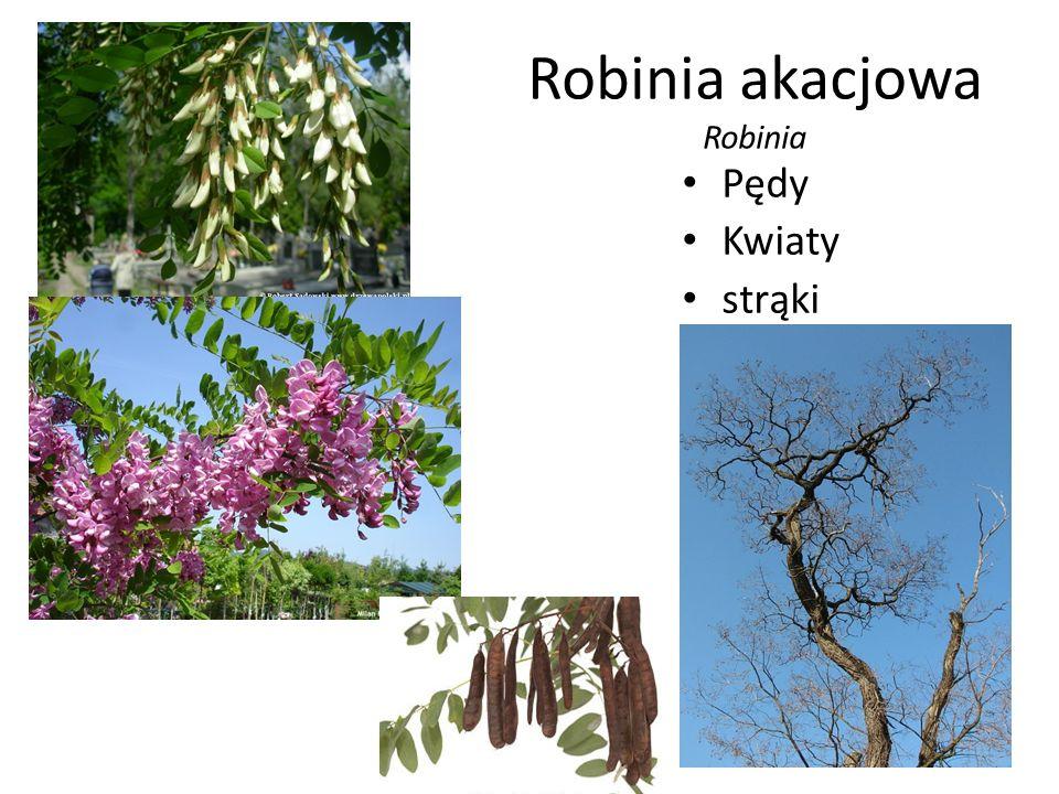 Robinia akacjowa Robinia