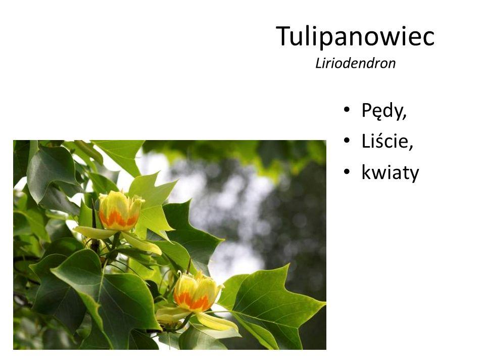 Tulipanowiec Liriodendron