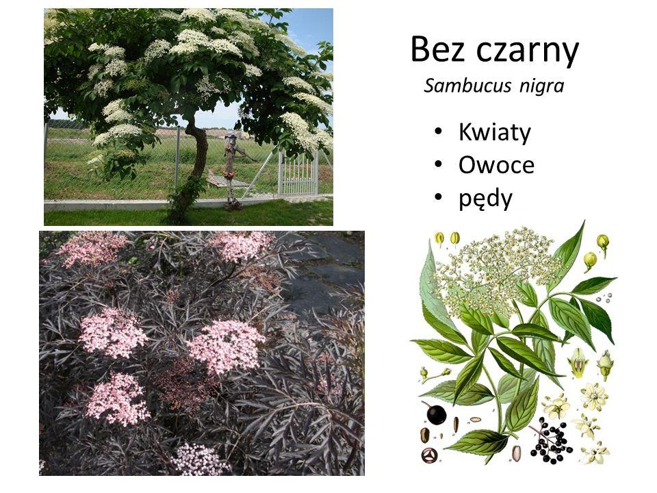 Bez czarny Sambucus nigra