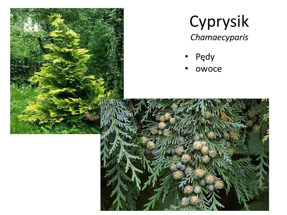Cyprysik Chamaecyparis
