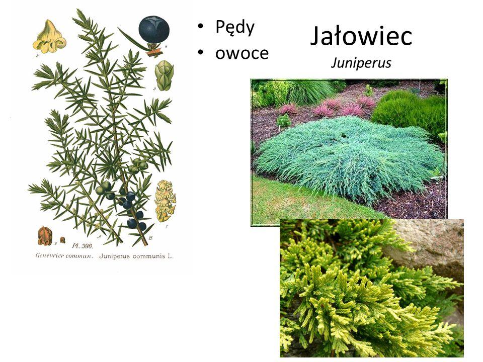 Pędy owoce Jałowiec Juniperus