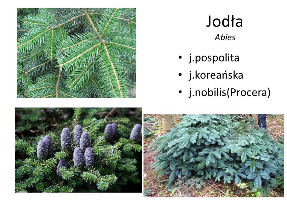 Jodła Abies j.pospolita j.koreańska j.nobilis(Procera)