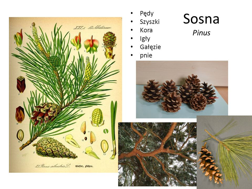 Pędy Szyszki Kora Igły Gałęzie pnie Sosna Pinus