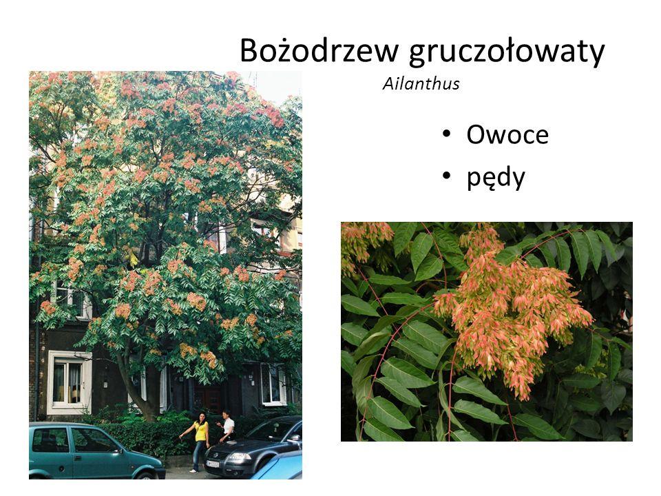 Bożodrzew gruczołowaty Ailanthus