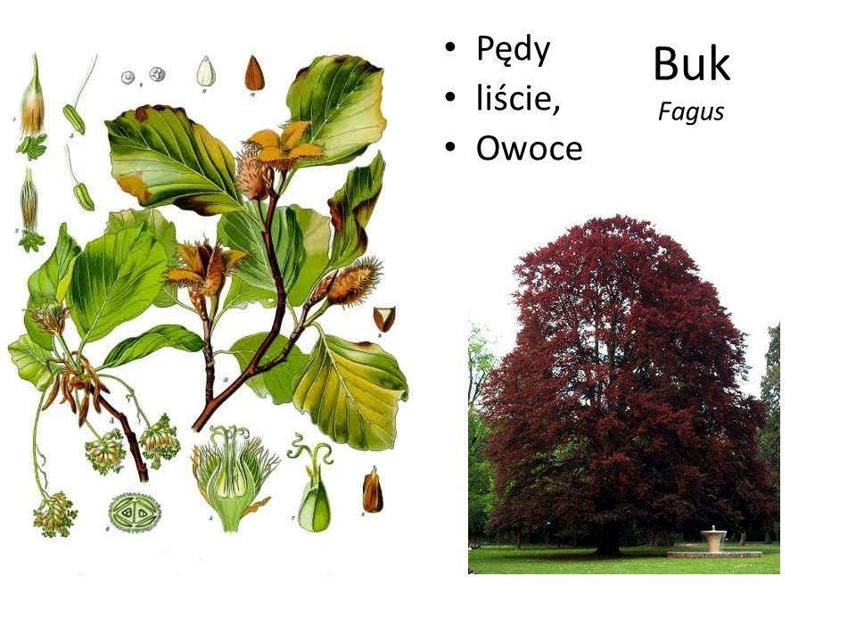 Pędy liście, Owoce Buk Fagus