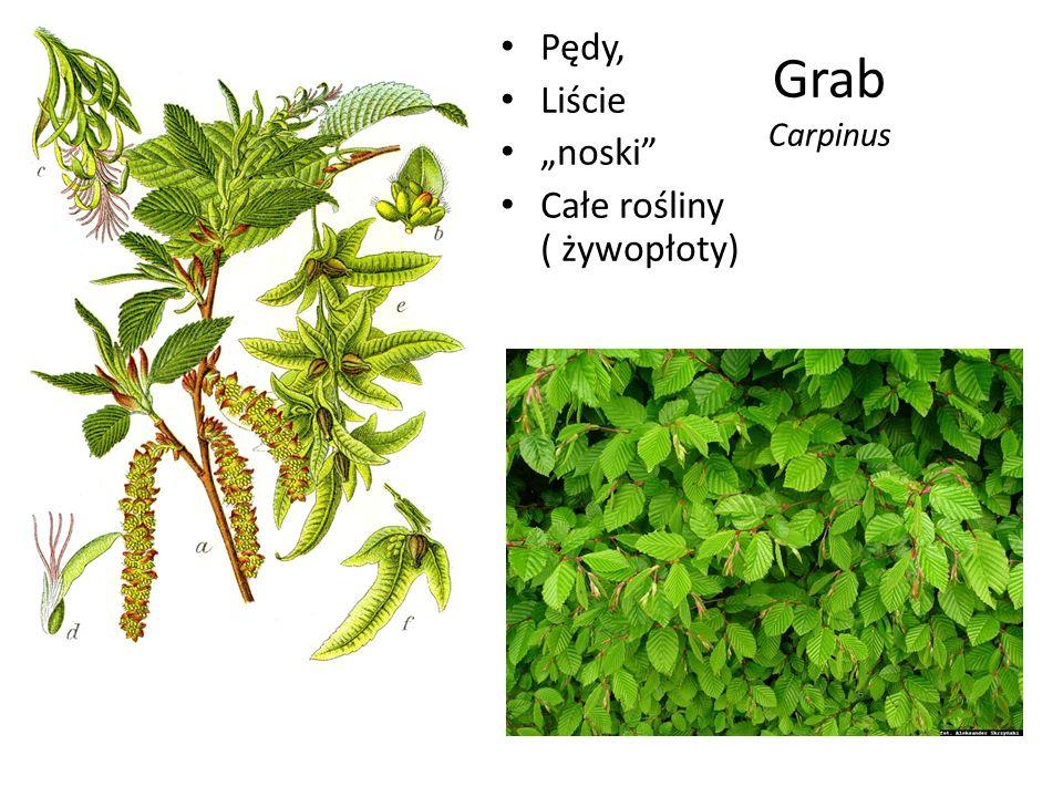 """Pędy, Liście """"noski Całe rośliny ( żywopłoty) Grab Carpinus"""
