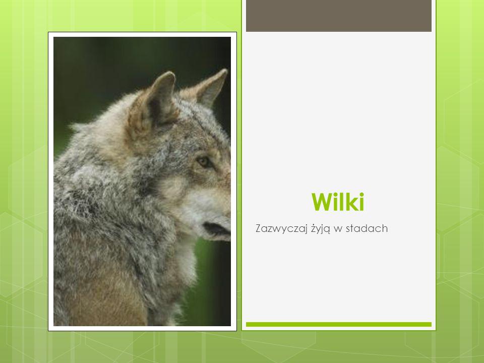 Wilki Zazwyczaj żyją w stadach