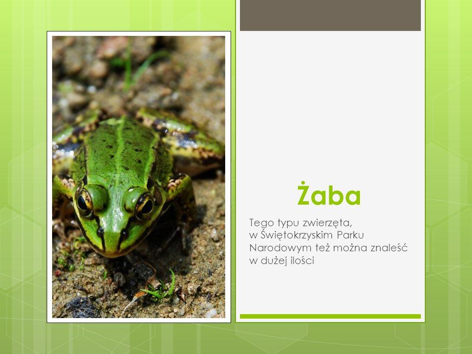 Żaba Tego typu zwierzęta, w Świętokrzyskim Parku Narodowym też można znaleść w dużej ilości