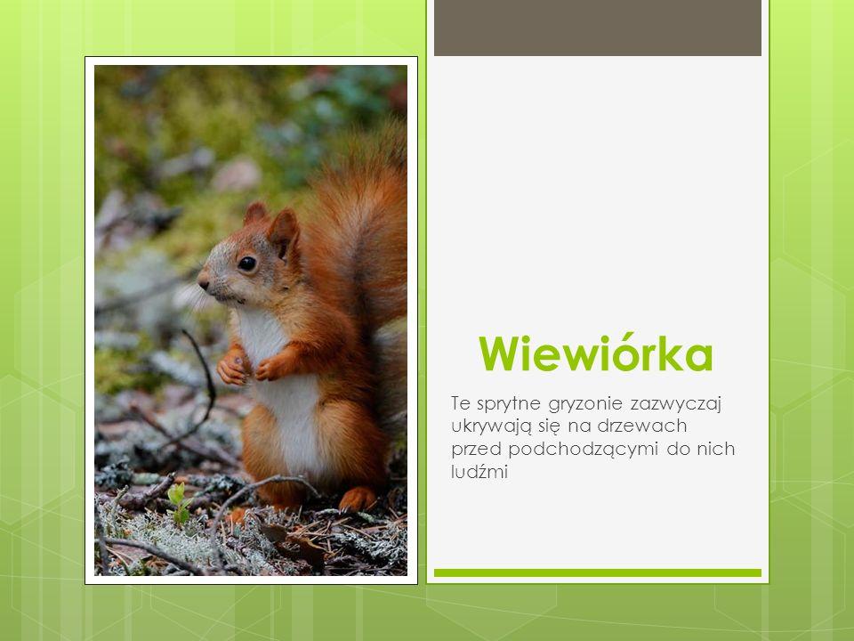 Wiewiórka Te sprytne gryzonie zazwyczaj ukrywają się na drzewach przed podchodzącymi do nich ludźmi