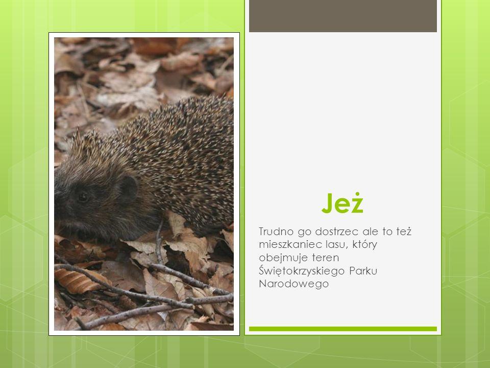 Jeż Trudno go dostrzec ale to też mieszkaniec lasu, który obejmuje teren Świętokrzyskiego Parku Narodowego.