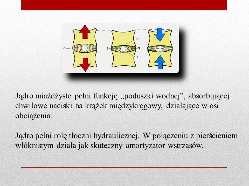 """Jądro miażdżyste pełni funkcję """"poduszki wodnej , absorbującej chwilowe naciski na krążek międzykręgowy, działające w osi obciążenia."""