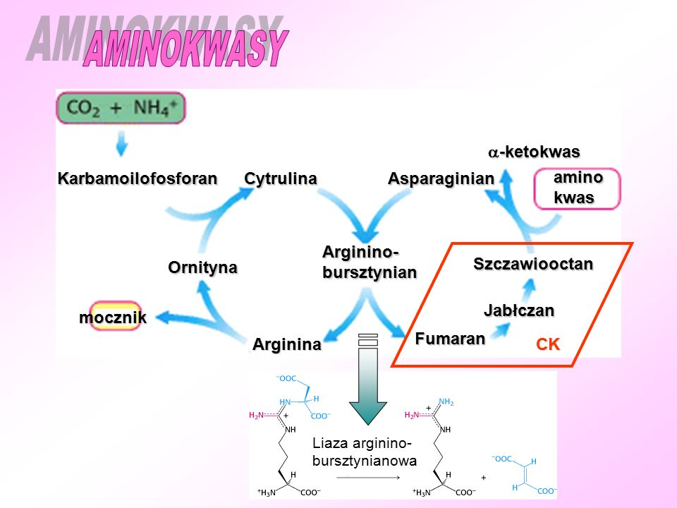 AMINOKWASY -ketokwas Karbamoilofosforan Cytrulina Asparaginian amino