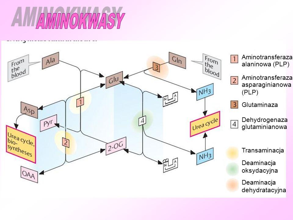 AMINOKWASY Aminotransferaza alaninowa (PLP) asparaginianowa (PLP)