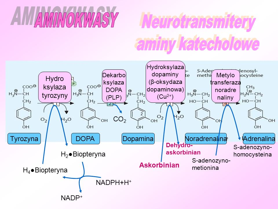 AMINOKWASY Neurotransmitery aminy katecholowe Hydro ksylaza tyrozyny