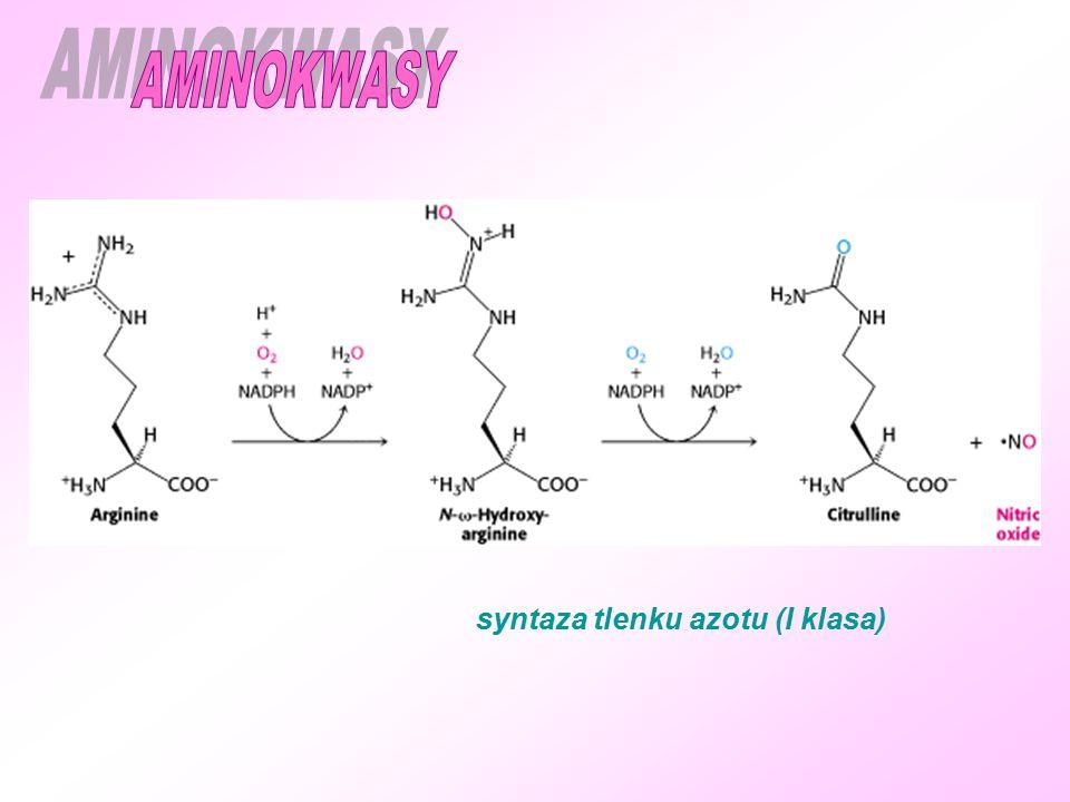 AMINOKWASY syntaza tlenku azotu (I klasa)