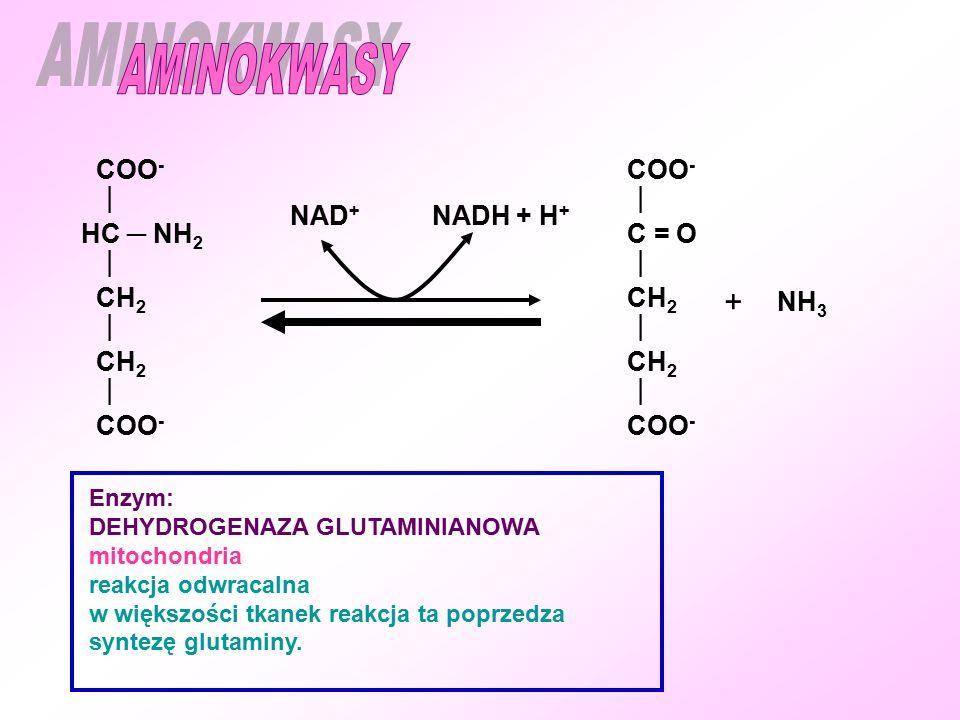 AMINOKWASY + COO-  HC ─ NH2 CH2 COO-  C = O CH2 NAD+ NADH + H+ NH3