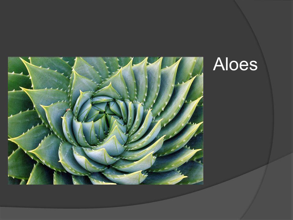Aloes W ogrodzie,