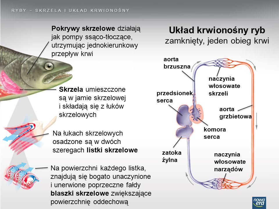 Układ krwionośny ryb zamknięty, jeden obieg krwi