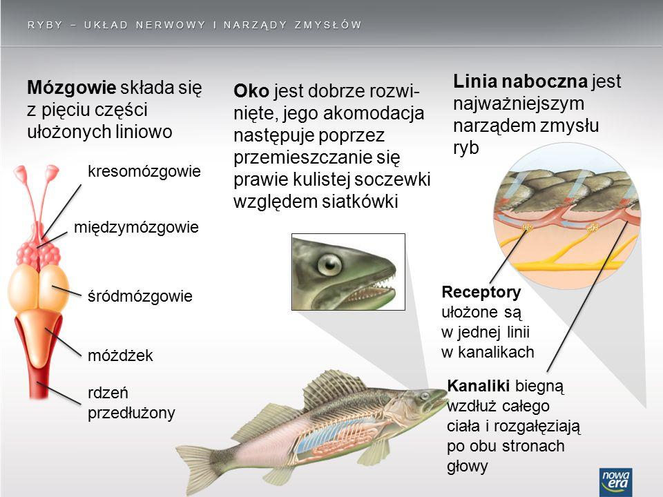 Linia naboczna jest najważniejszym narządem zmysłu ryb