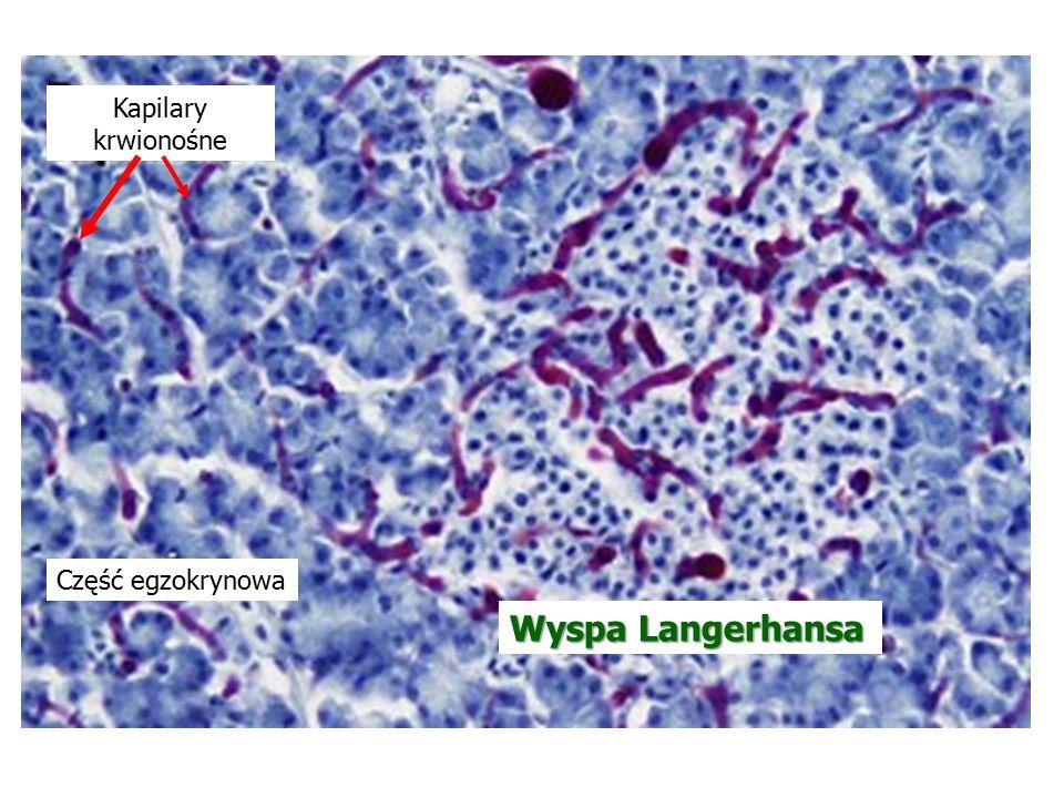 Kapilary krwionośne Część egzokrynowa Wyspa Langerhansa