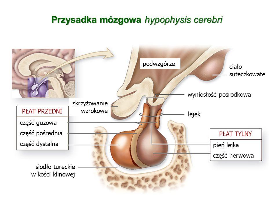 Przysadka mózgowa hypophysis cerebri
