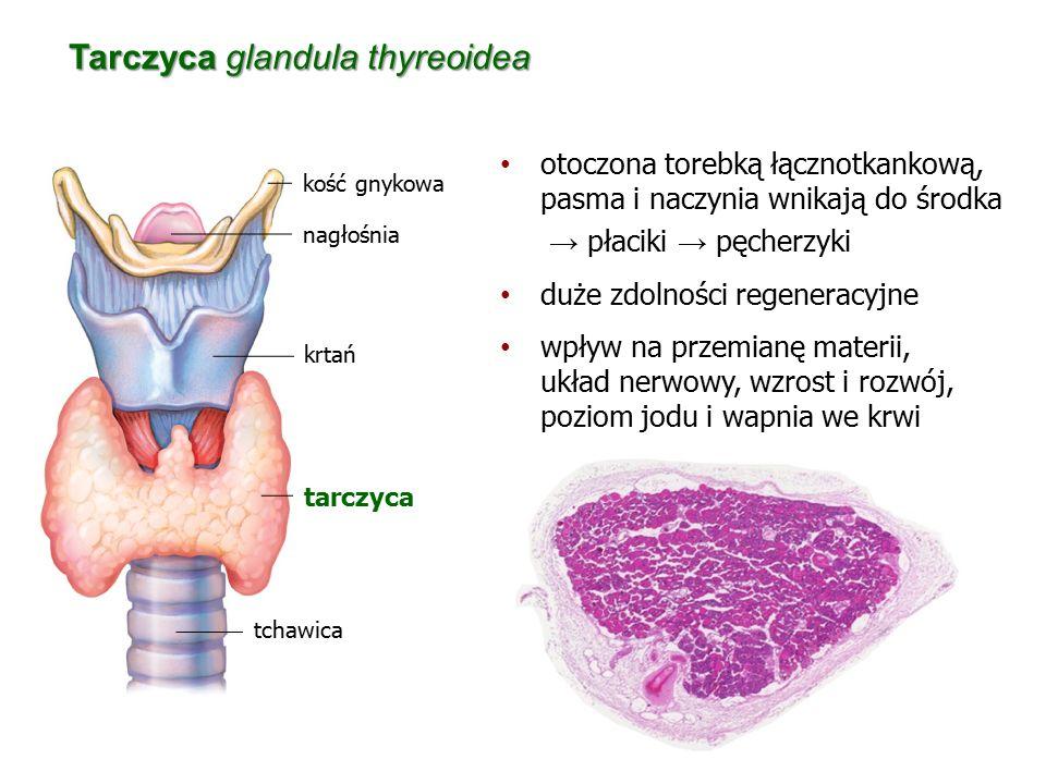 Tarczyca glandula thyreoidea