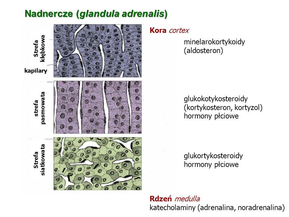 Nadnercze (glandula adrenalis)