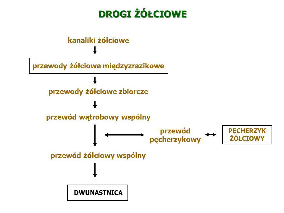DROGI ŻÓŁCIOWE kanaliki żółciowe przewody żółciowe międzyzrazikowe