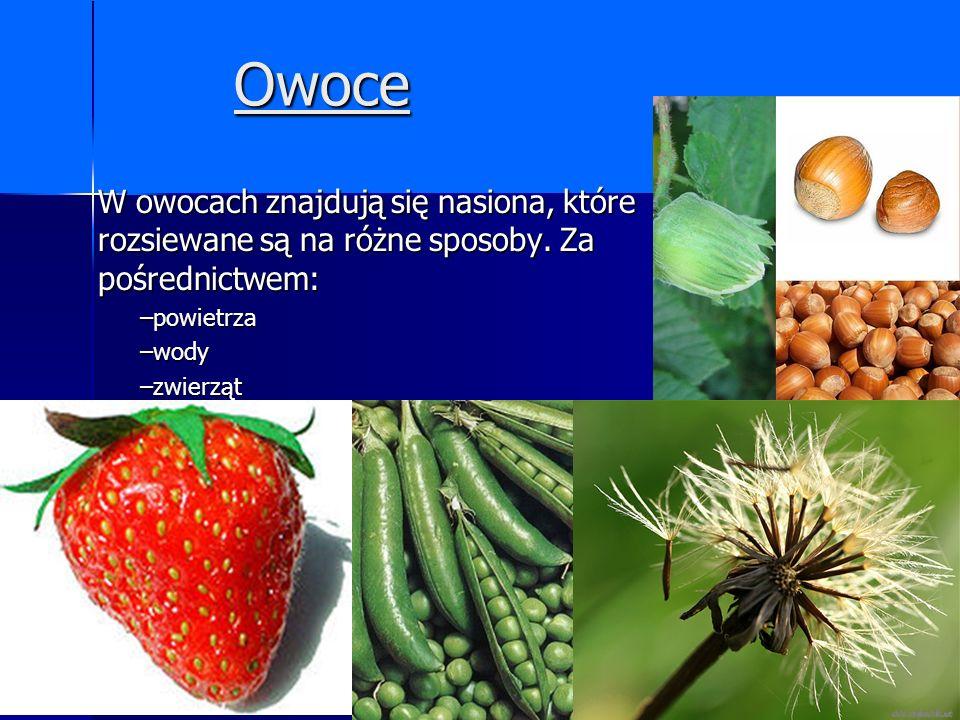 Owoce W owocach znajdują się nasiona, które rozsiewane są na różne sposoby. Za pośrednictwem: powietrza.