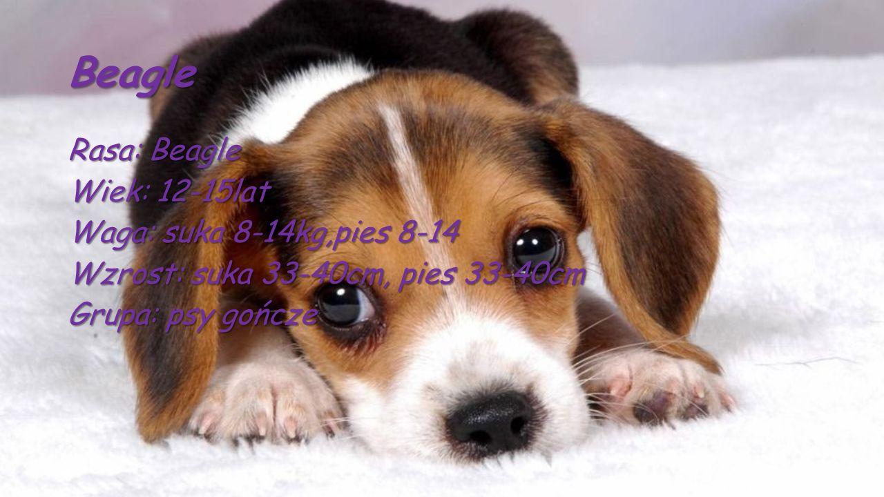 Beagle Rasa: Beagle Wiek: 12-15lat Waga: suka 8-14kg,pies 8-14 Wzrost: suka 33-40cm, pies 33-40cm Grupa: psy gończe