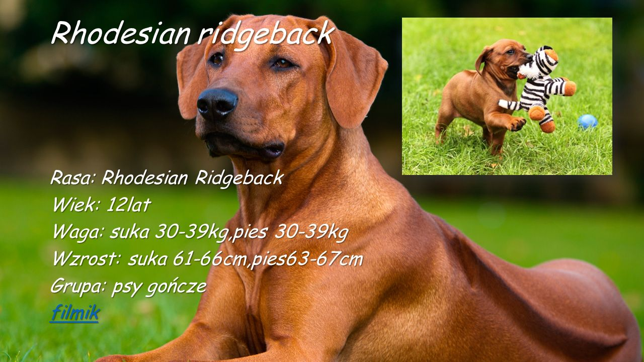Rhodesian ridgeback Rasa: Rhodesian Ridgeback Wiek: 12lat Waga: suka 30-39kg,pies 30-39kg Wzrost: suka 61-66cm,pies63-67cm Grupa: psy gończe filmik