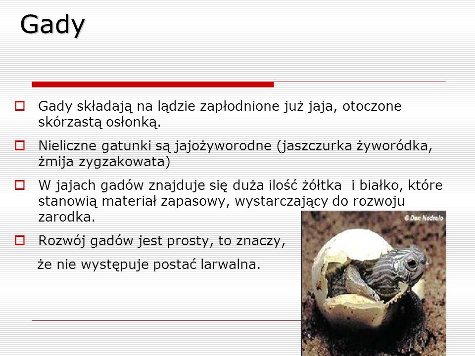 Gady Gady składają na lądzie zapłodnione już jaja, otoczone skórzastą osłonką.