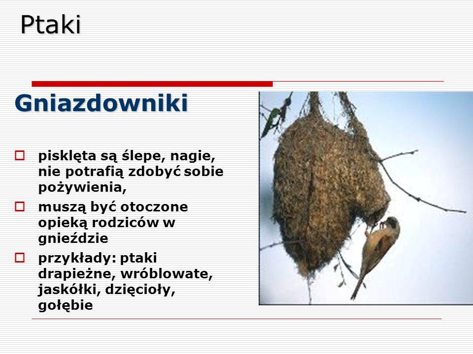 Ptaki Gniazdowniki. pisklęta są ślepe, nagie, nie potrafią zdobyć sobie pożywienia, muszą być otoczone opieką rodziców w gnieździe.