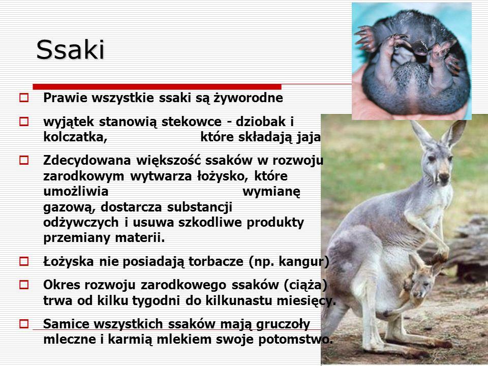 Ssaki Prawie wszystkie ssaki są żyworodne