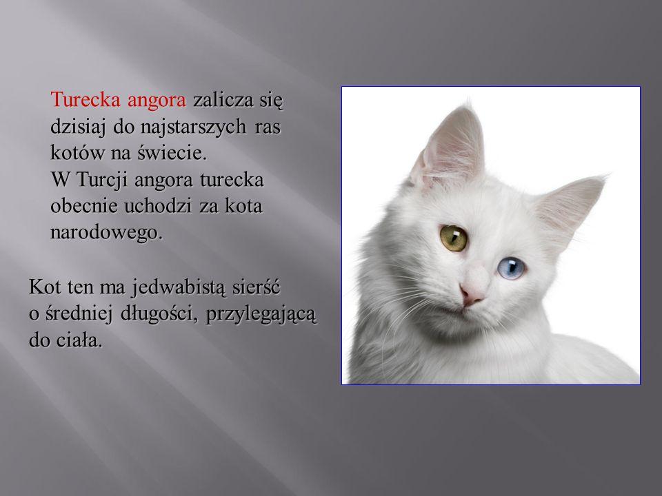 Turecka angora zalicza się dzisiaj do najstarszych ras kotów na świecie. W Turcji angora turecka obecnie uchodzi za kota narodowego.