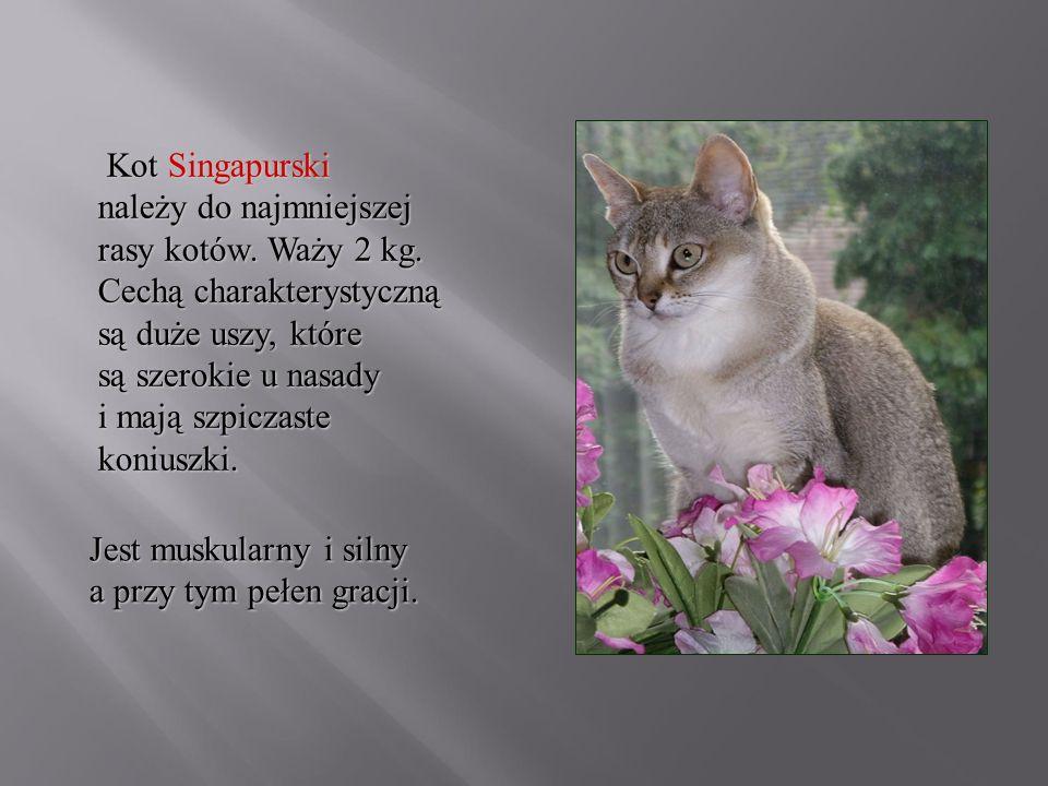 Kot Singapurski należy do najmniejszej rasy kotów. Waży 2 kg
