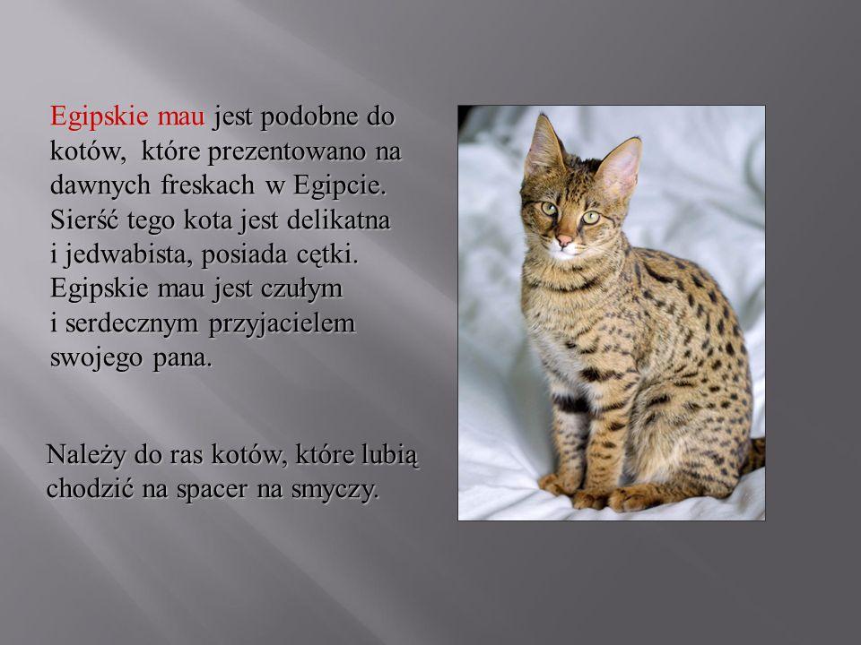 Egipskie mau jest podobne do kotów, które prezentowano na dawnych freskach w Egipcie. Sierść tego kota jest delikatna i jedwabista, posiada cętki. Egipskie mau jest czułym i serdecznym przyjacielem swojego pana.