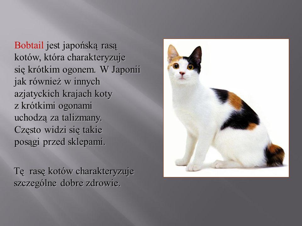Bobtail jest japońską rasą kotów, która charakteryzuje się krótkim ogonem. W Japonii jak również w innych azjatyckich krajach koty z krótkimi ogonami uchodzą za talizmany. Często widzi się takie posągi przed sklepami.
