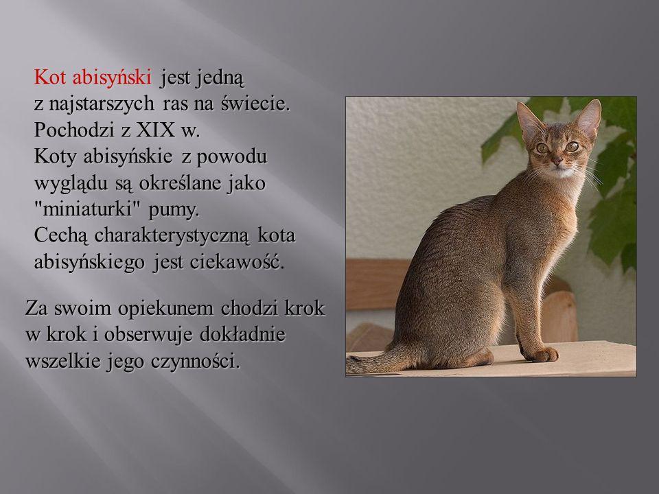 Kot abisyński jest jedną z najstarszych ras na świecie