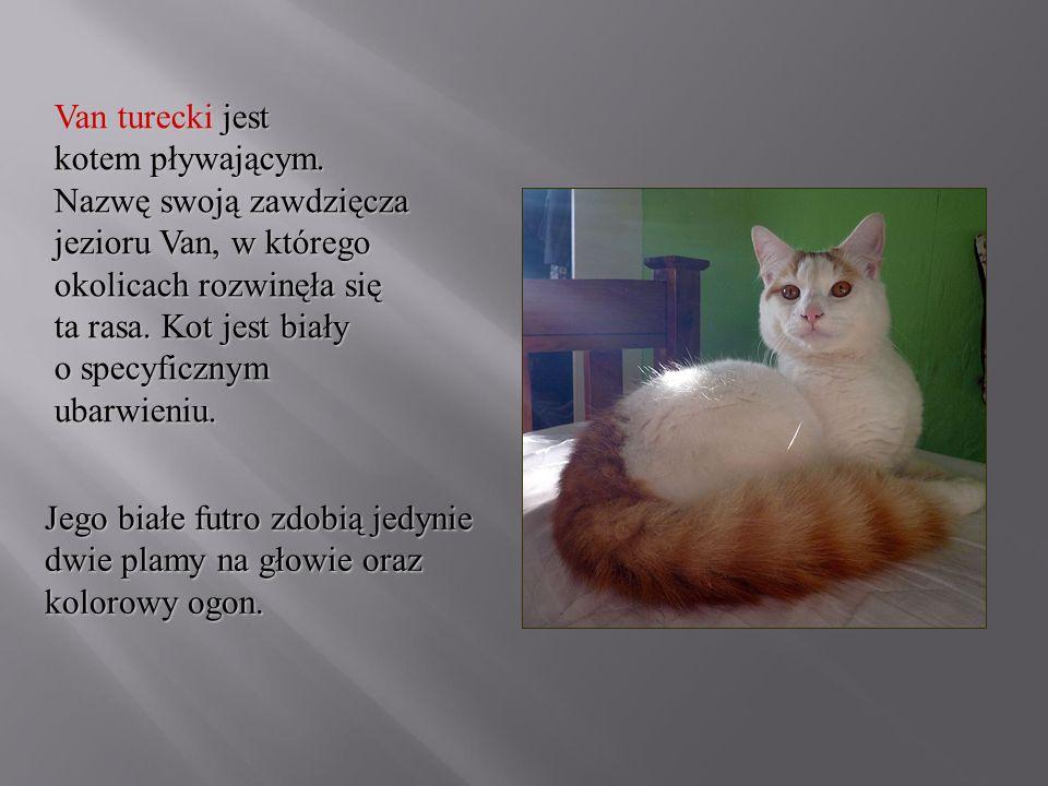 Van turecki jest kotem pływającym