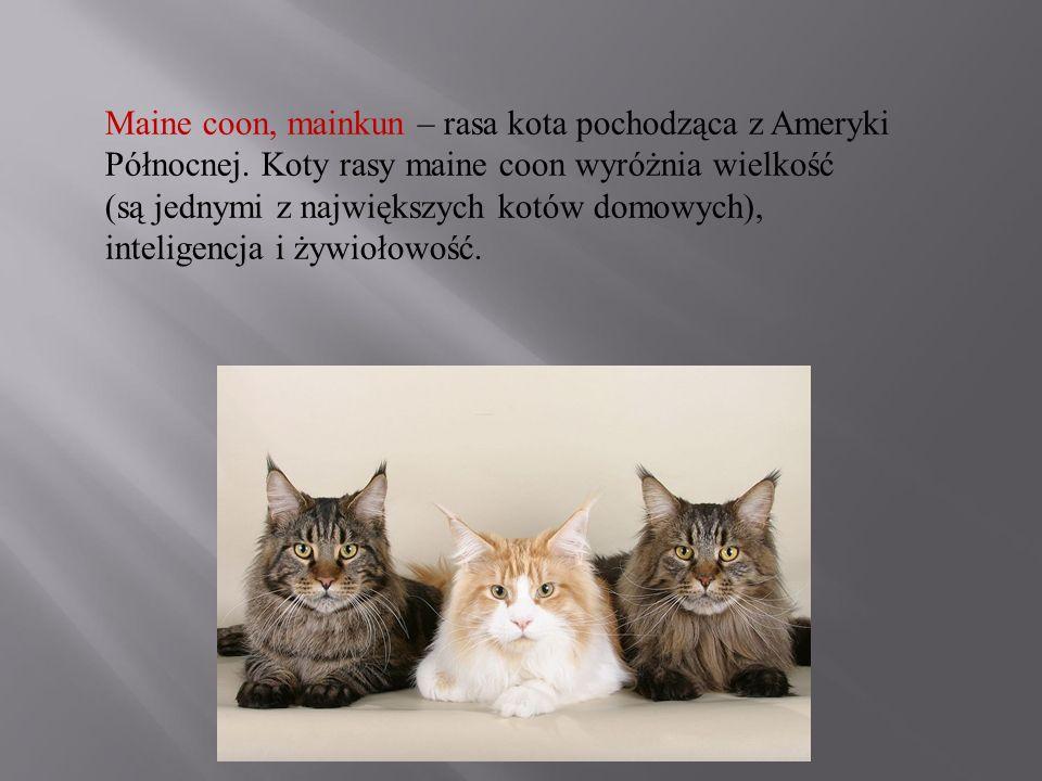 Maine coon, mainkun – rasa kota pochodząca z Ameryki Północnej