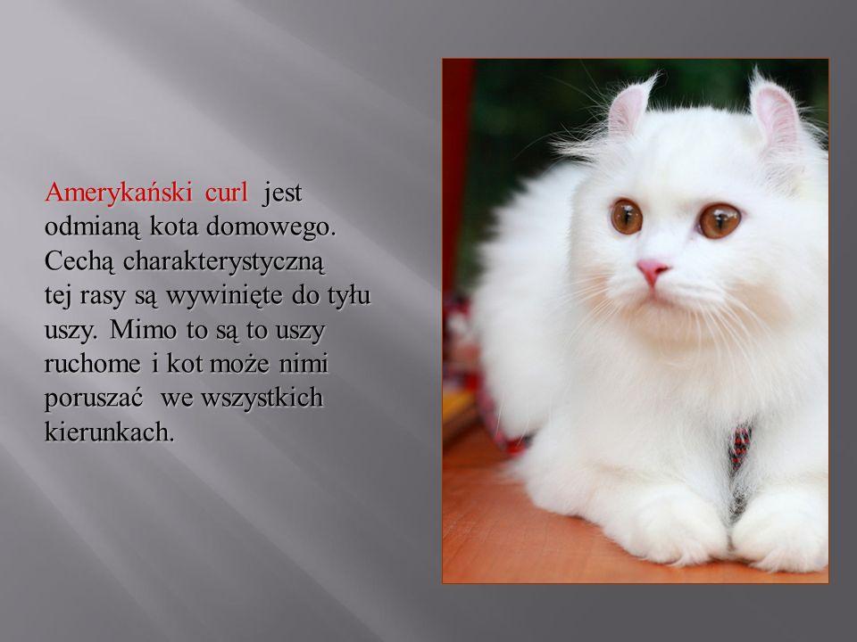 Amerykański curl jest odmianą kota domowego