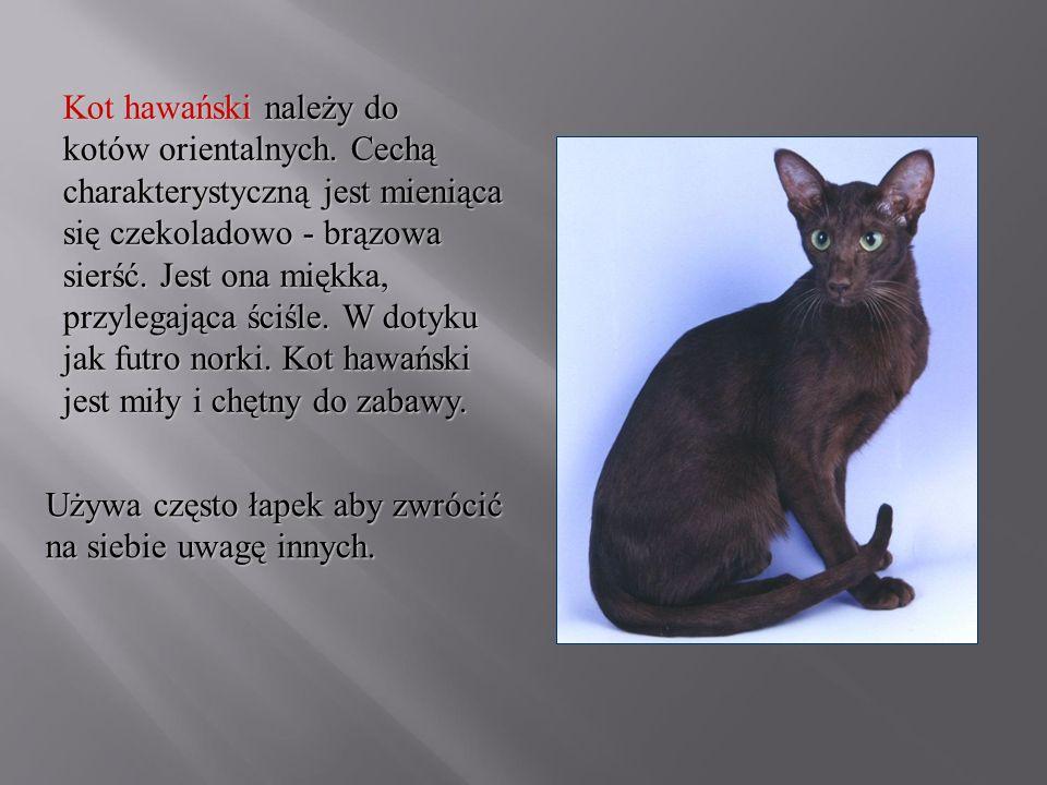 Kot hawański należy do kotów orientalnych