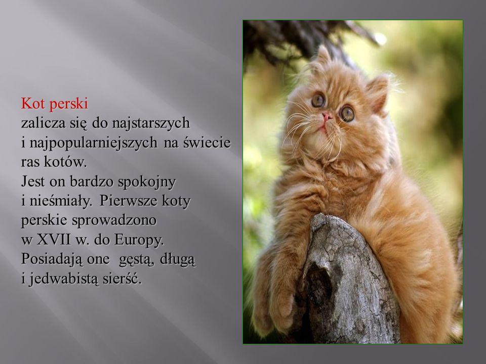 Kot perski zalicza się do najstarszych i najpopularniejszych na świecie ras kotów.