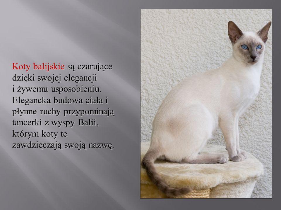 Koty balijskie są czarujące dzięki swojej elegancji i żywemu usposobieniu.