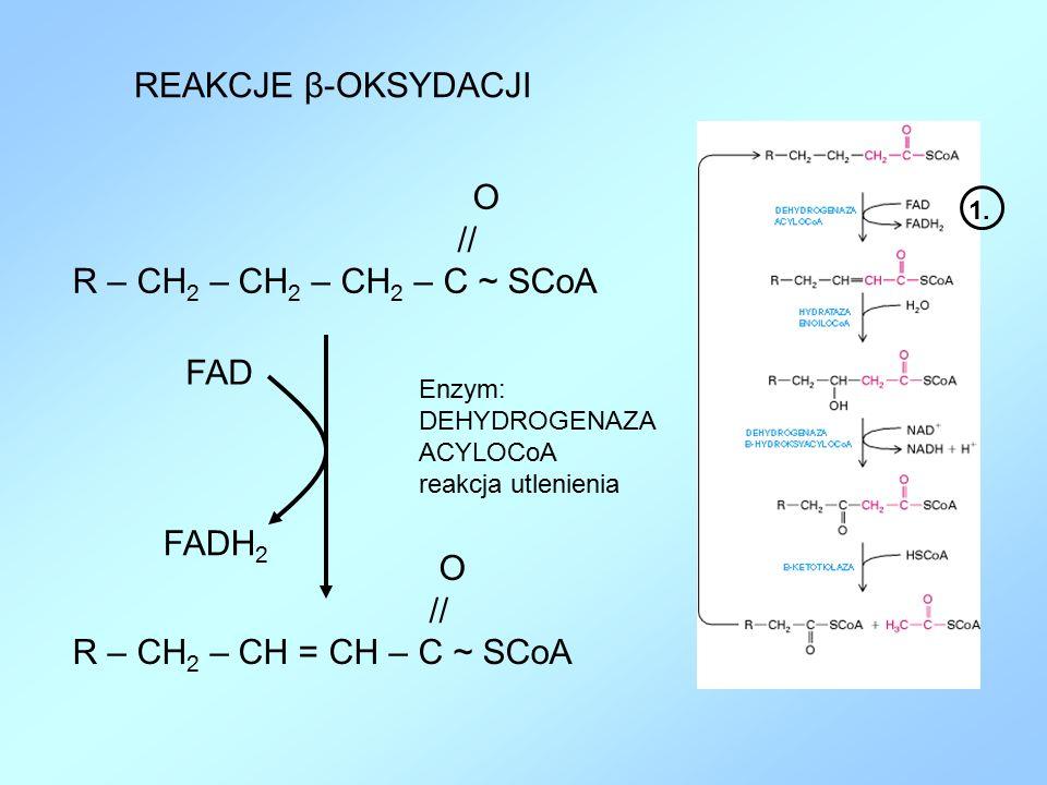 REAKCJE β-OKSYDACJI // R – CH2 – CH2 – CH2 – C ~ SCoA FAD FADH2 O //